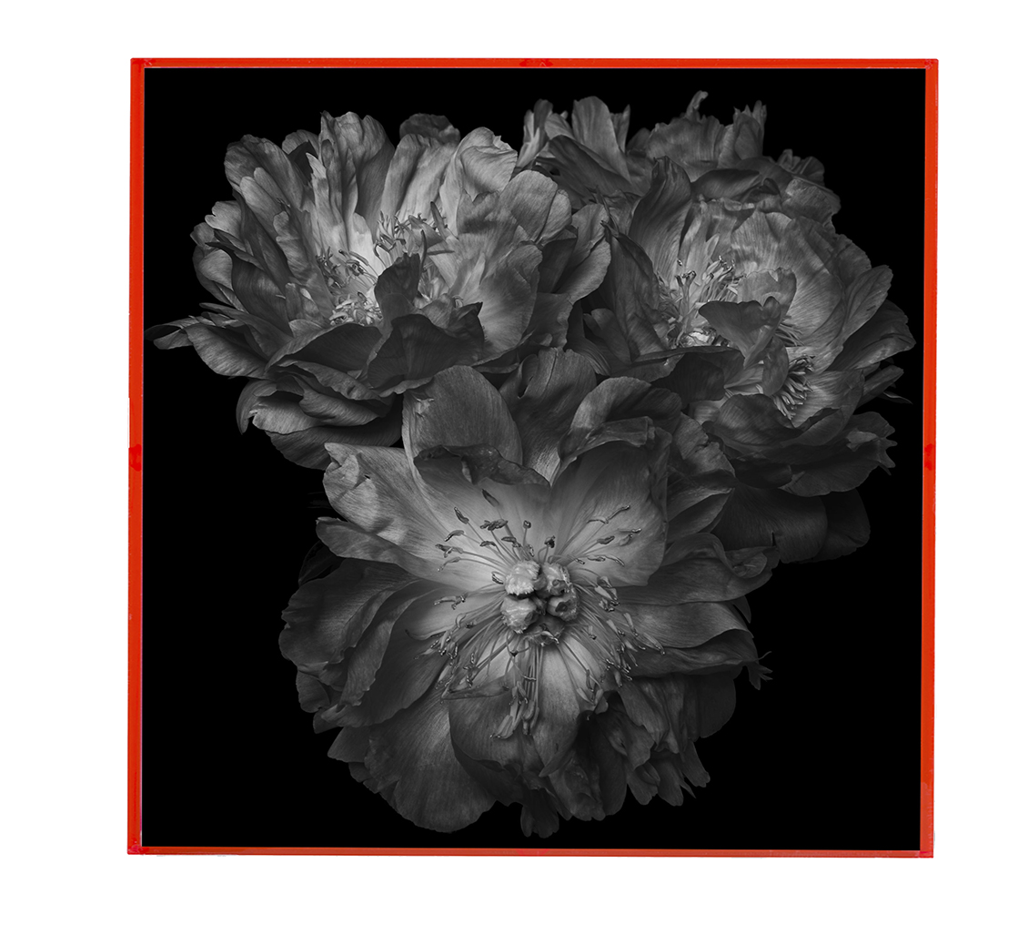 black and white peonies pink frame ondrea barbe.jpg