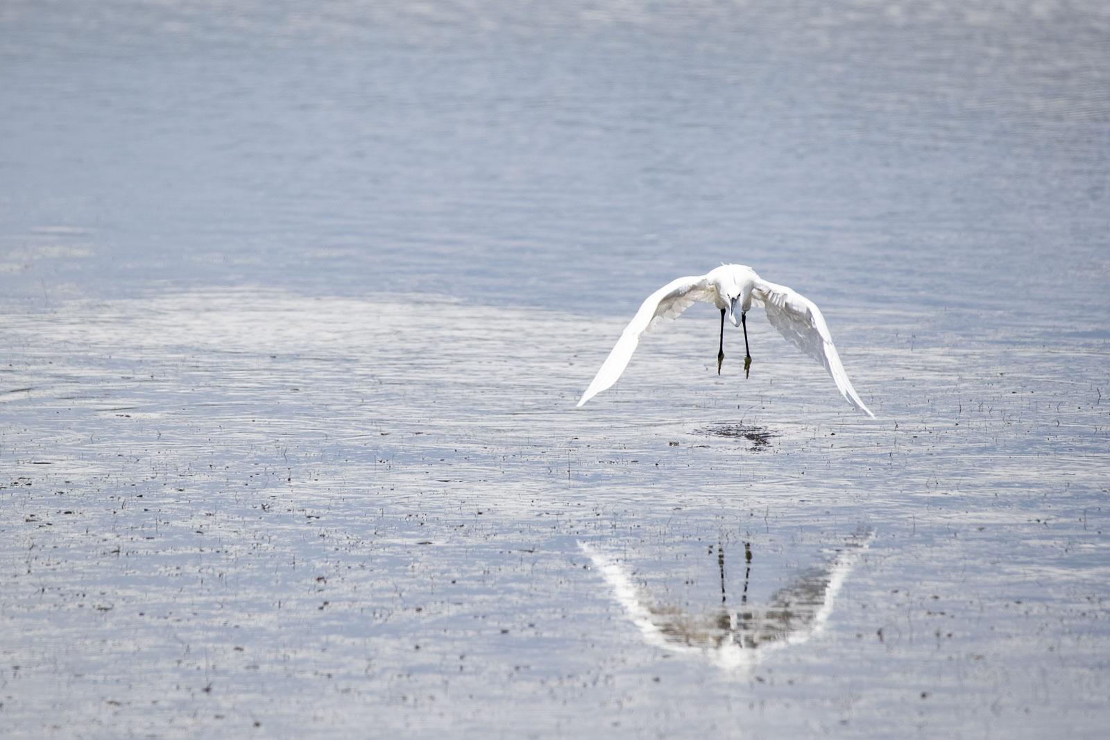 Silky heron incoming