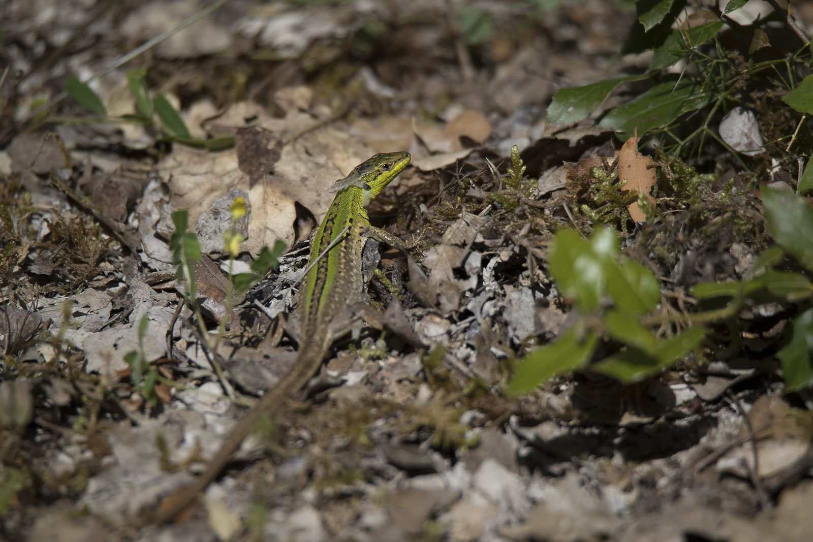 Lizard chaincheing skin