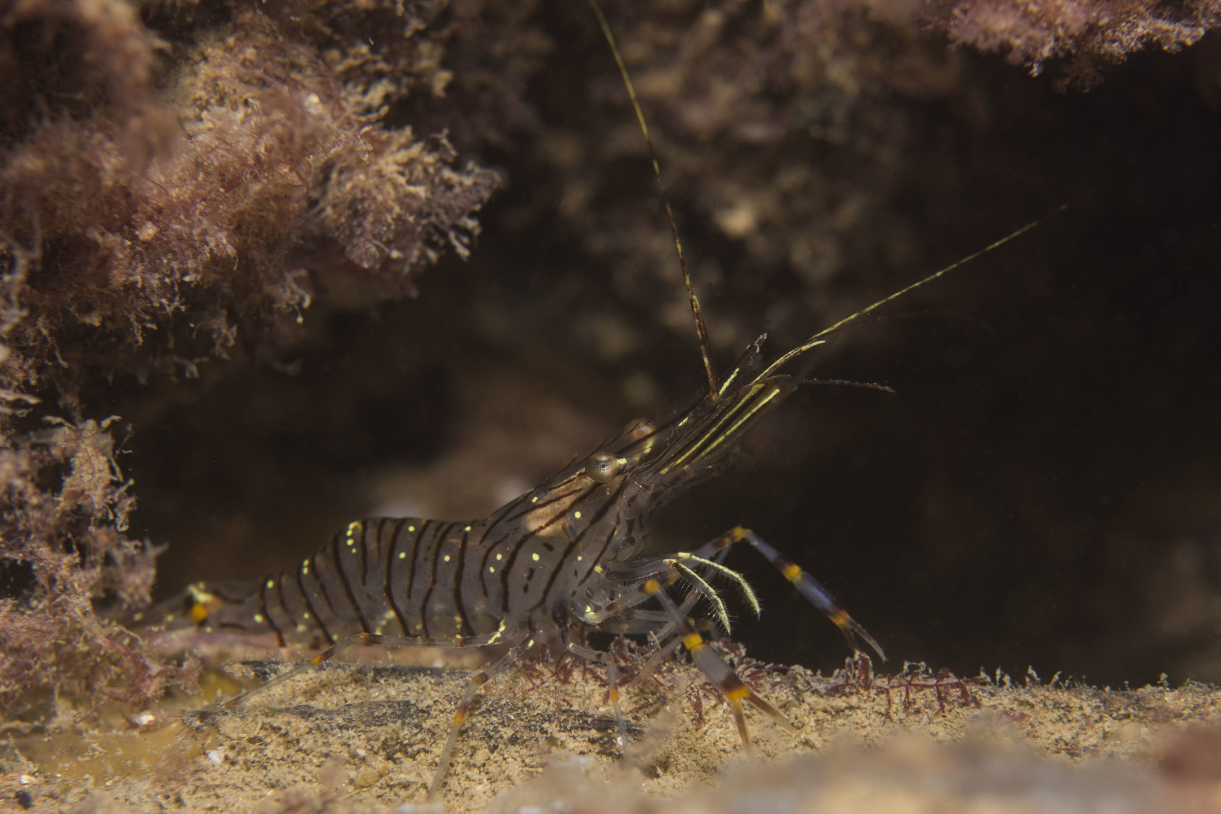Common Prawn  Palaemon serratus