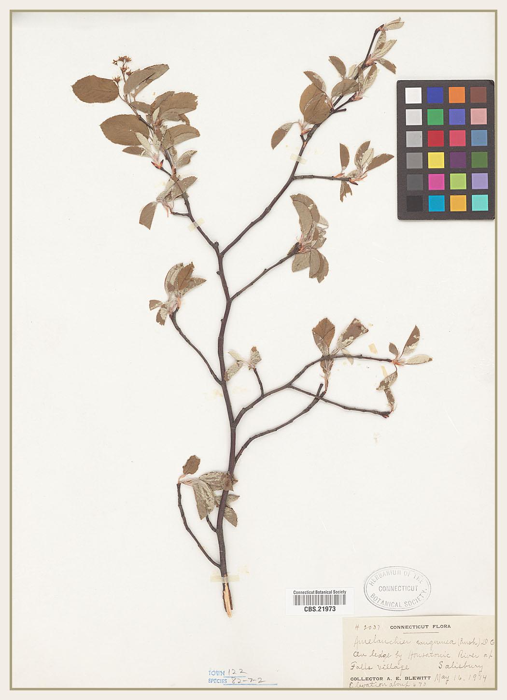 Amelanchier sanguinea