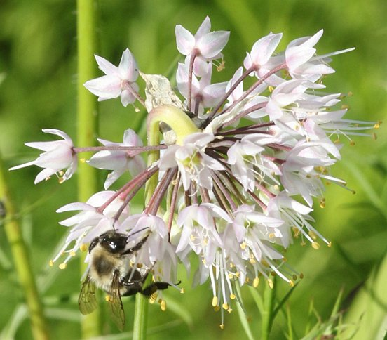 Bumble Bees were also going about their buzzy business, this one tends a Nodding Wild Onion.
