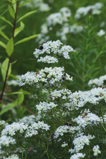 Slender Mountain Mint was, as this photo shows, amongst the liveliest of flowers.