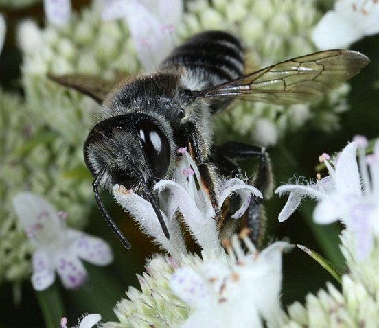 This somewhat sleek but nondescript bee, also poised on Mountain Mint, reveals its taxonomic affiliations when...