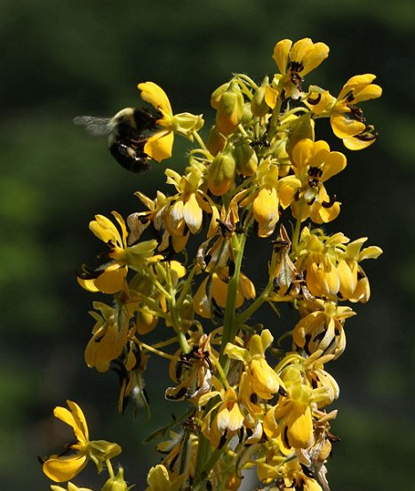 A Bumblebee mirrors the form of this Wild Senna flower.