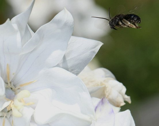 A native bee begins its close approach to what might be White Bellflower.