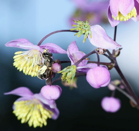 A native bee, its hind legs packed with pollen, visits Meadow Rue.
