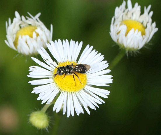 A Ceratina bee on Daisy Fleabane; bees of this group all nest in the hollow stems of plants, and...