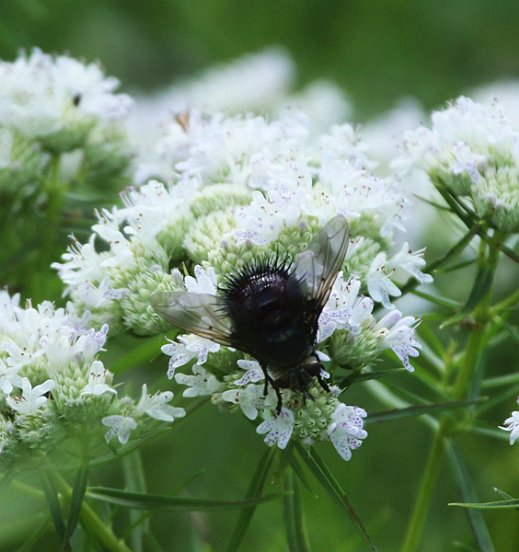 If it is the genus that we think it is, then this bristle-butted fly upon Slender Mountain Mint is probably in the family tachinidae.