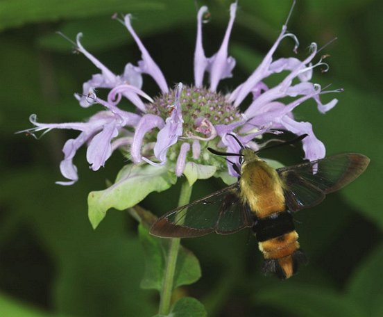 Another clear-winged insect, in this case a moth. The Snowberry Clearwings were abundant, visiting flowers such as this Monarda and...