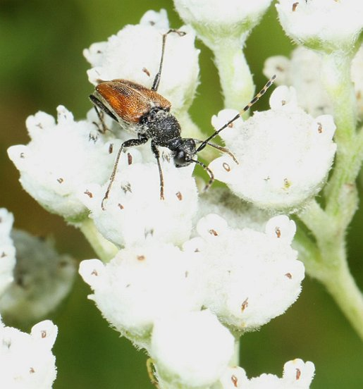 Adults of this species of long-horned beetle visit flowers, such as this Wild Quinine. However, its grub probably develop in wood.