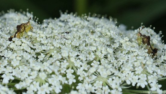 As the references to perilous companions and parasitic wasps and flies may have suggested, all is not peace and pollen; here, two Jagged Ambush Bugs face off across some Queen Anne's Lace.