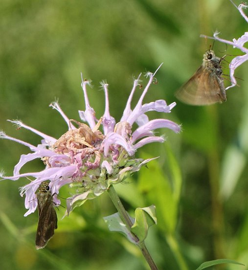 But certainly not all skippers were prey. Here a pair of Northern Broken Dashes engages in what is probably courtship. The wing fluttering may help spread attractive pheromones.