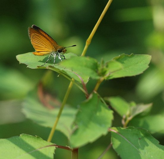 Our tiniest skippers, the bright-winged Least Skipper.