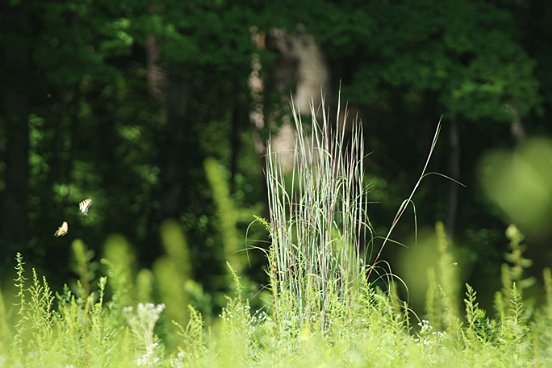 It wasn't only the flowers who were making a show. This is Big Bluestem, flanked by two dancing Tiger Swallowtails.