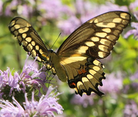The Giant Swallowtail seems to be getting more common in our area. From below, it is reminiscent of the Tiger Swallowtail, while from above, it is black and so more similar to...