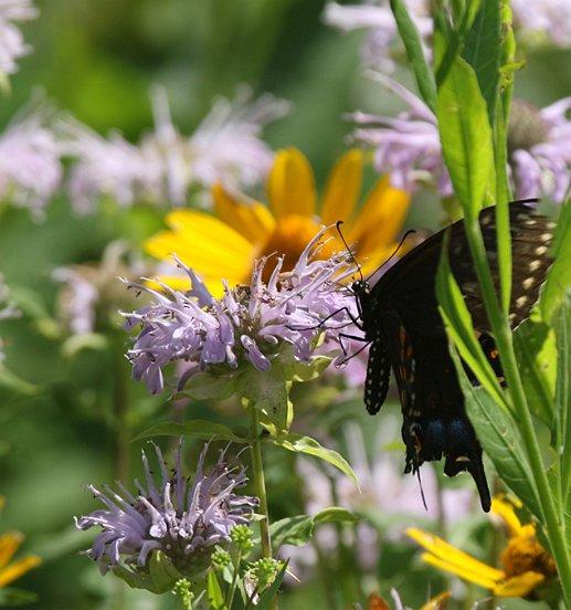 the Black Swallowtail.