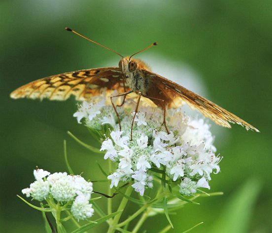 This tattered Great Spangled Fritillary appears to just be resting atop this Slender Mountain Mint.