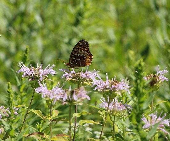 Here's a fresher Great Spangled visiting Bee Balm.