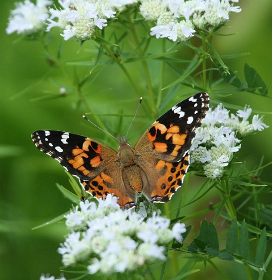 Here is the same species, now with wings open, alighted on Slender Mountain Mint.