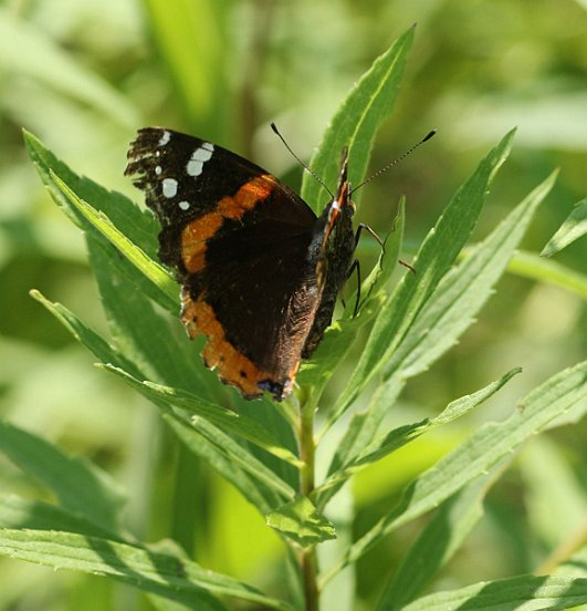 Red Admirals apparently do not overwinter this far north. Instead, they recolonize from the south each year. Some years there are many, some years few. 2017 appears to be a middle-of-the-road year.