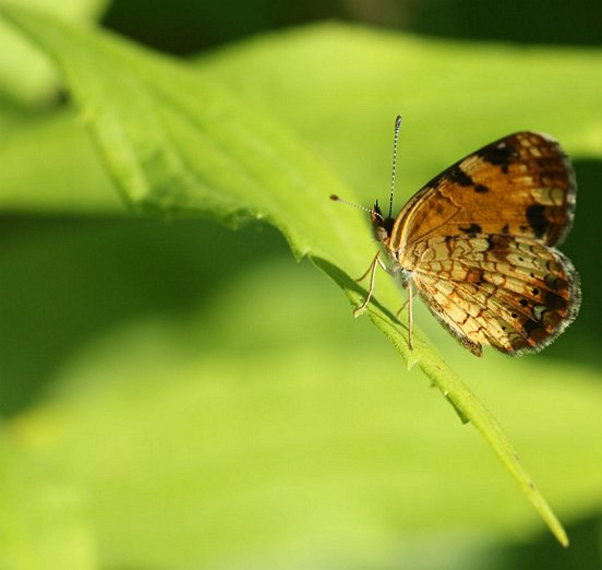 Pearl Crescents are sometimes one of our most common butterflies, but they were only occasional in your meadow this year.