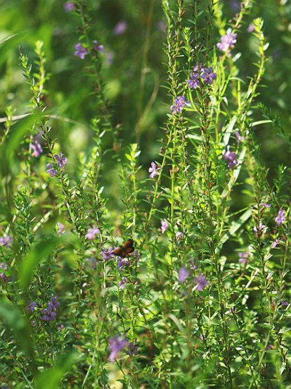 We made a side visit to the site of your Winged Loosestrife, where we found more flowers and butterflies.