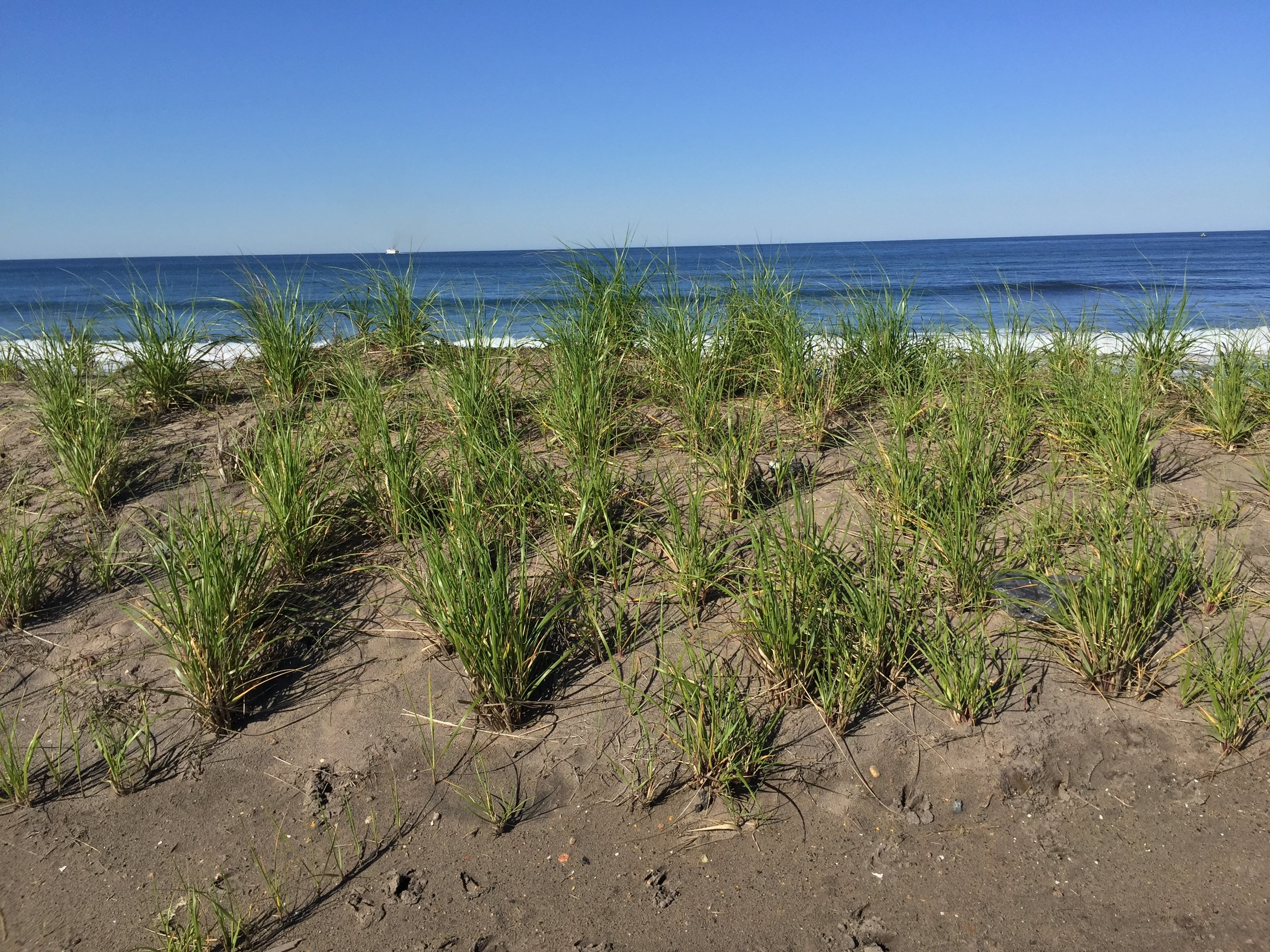 Beachgrass / Photo by Tracy Finn