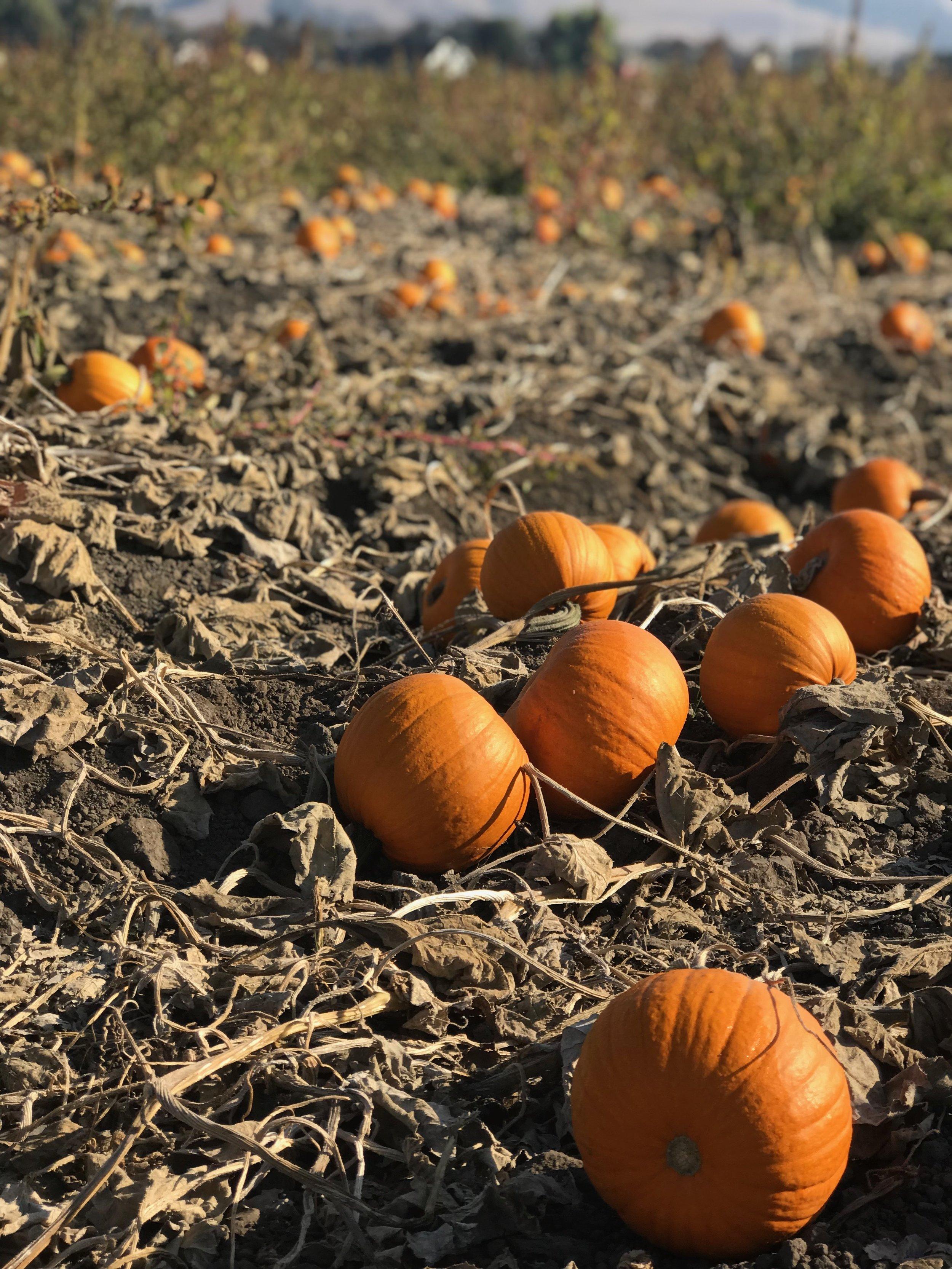 Pumpkins in the Field.JPG