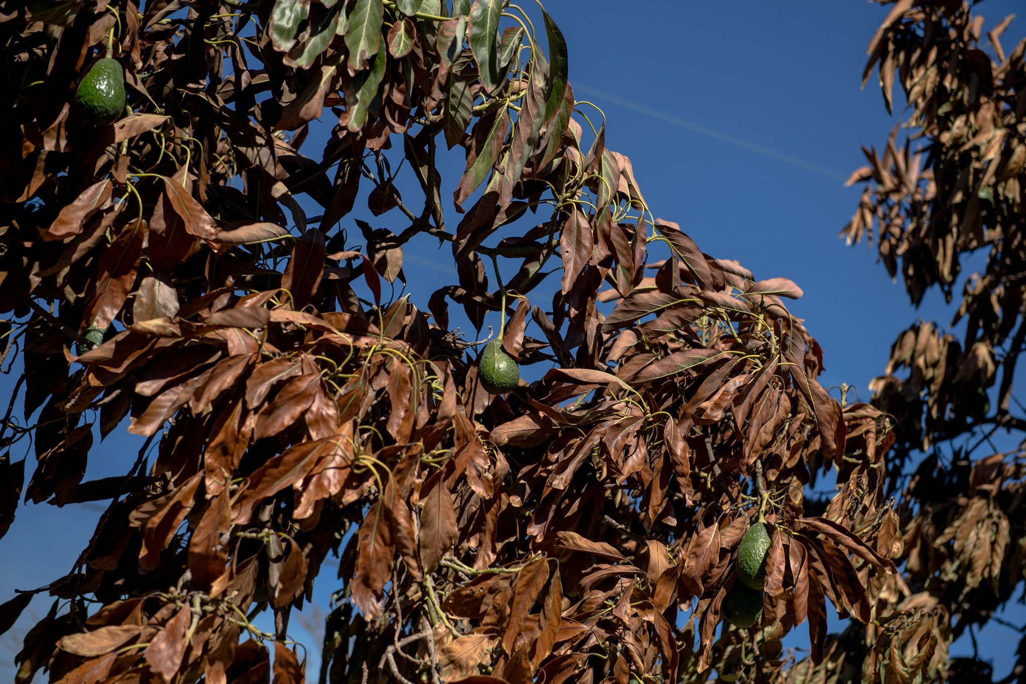 Burnt avocado trees at Brokaw Ranch outside of Ventura, CA. Image from Hillary Swift of the New York Times.