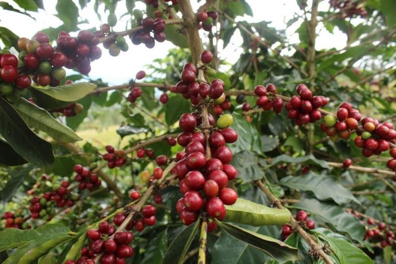 Coffee+Plant.jpg