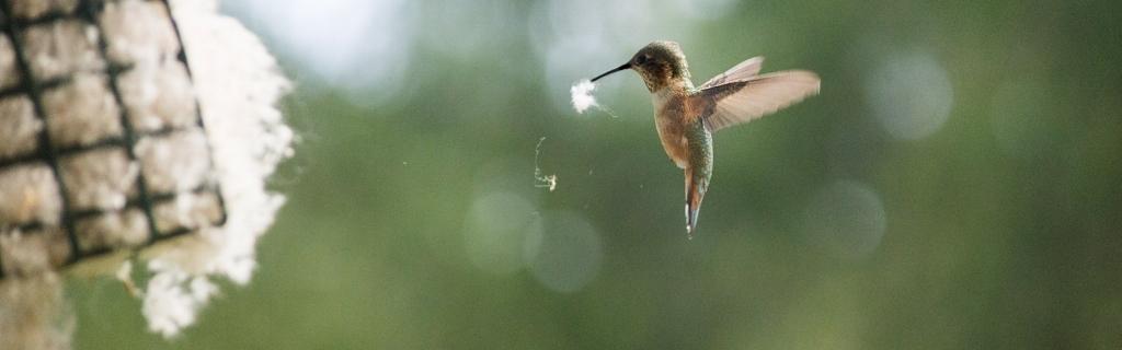 Hummingbird nesting material -  customer Terry Maupin.jpg