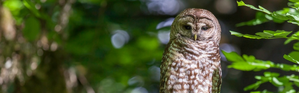 spotted-owl-strix-occidentalis-picture-id173737211.jpg