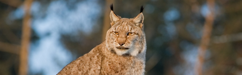 lynx-picture-id157403491.jpg