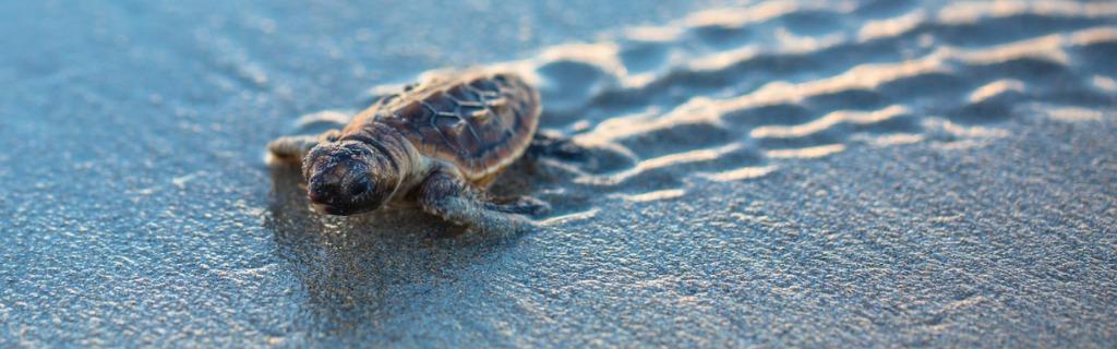 baby-loggerhead-sea-turtle-tracks-picture-id942481164.jpg