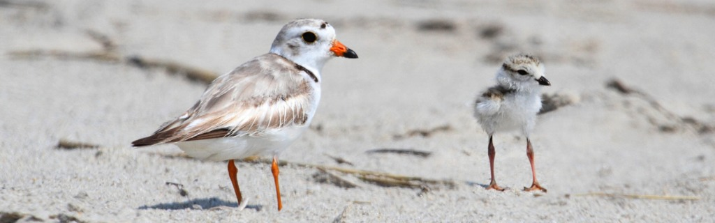 endangered-piping-plover-picture-id502086613.jpg