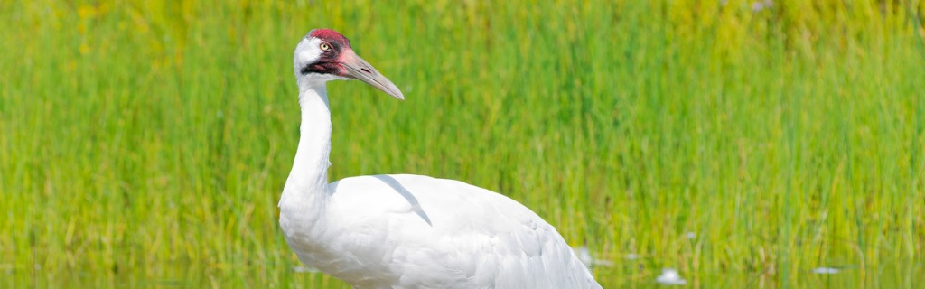 whooping-crane-wading-in-marsh-picture-id500299922.jpg