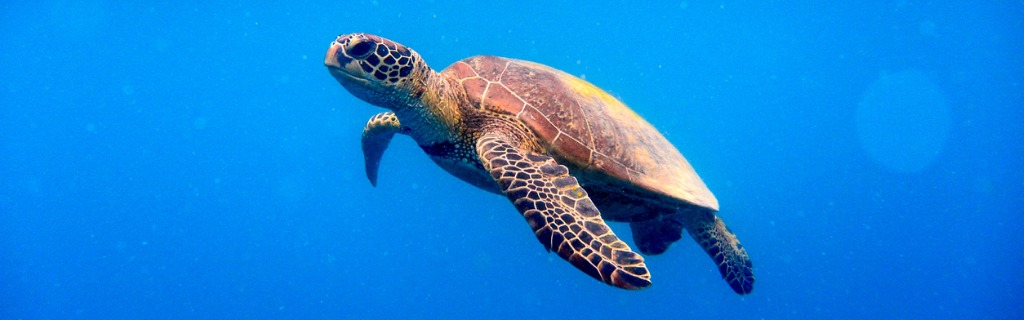green-turtle-approaching-water-surface-picture-id504241856.jpg