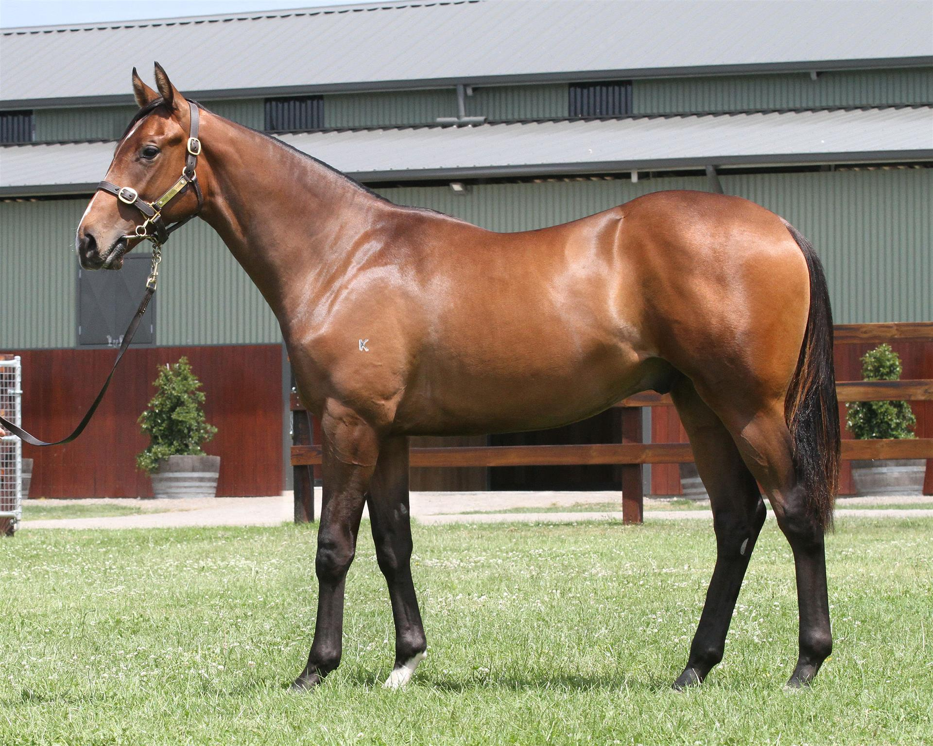 Lot 62 Magic Millions Gold Coast - Bel Esprit x Amen Ruby