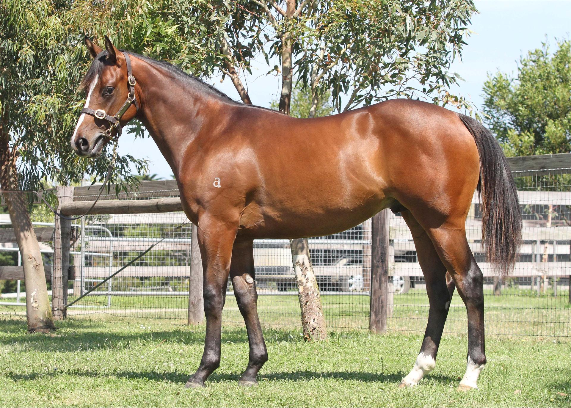Lot 599 Northern Meteor x Ms Bowie Gold Coast Magic Millions