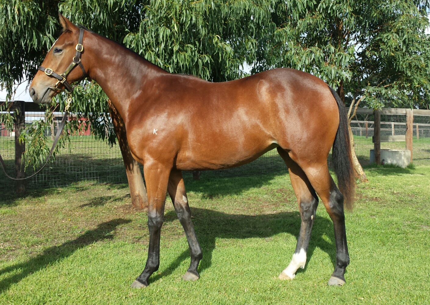 Lot 13 Starcraft x Witwatersrand Filly