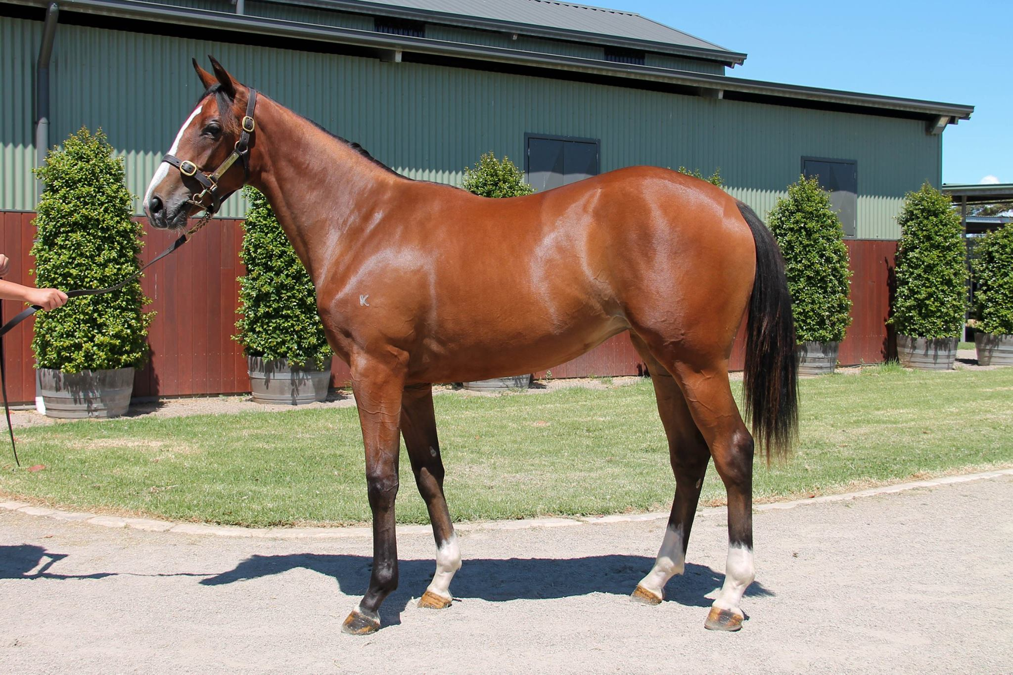 LOT 780  SIRE: Olympic Glory  DAM: Miss Diagnosis  Bay Filly  PURCHASER: Paul Moroney Bloodstock VIC  PRICE: $38,000.00