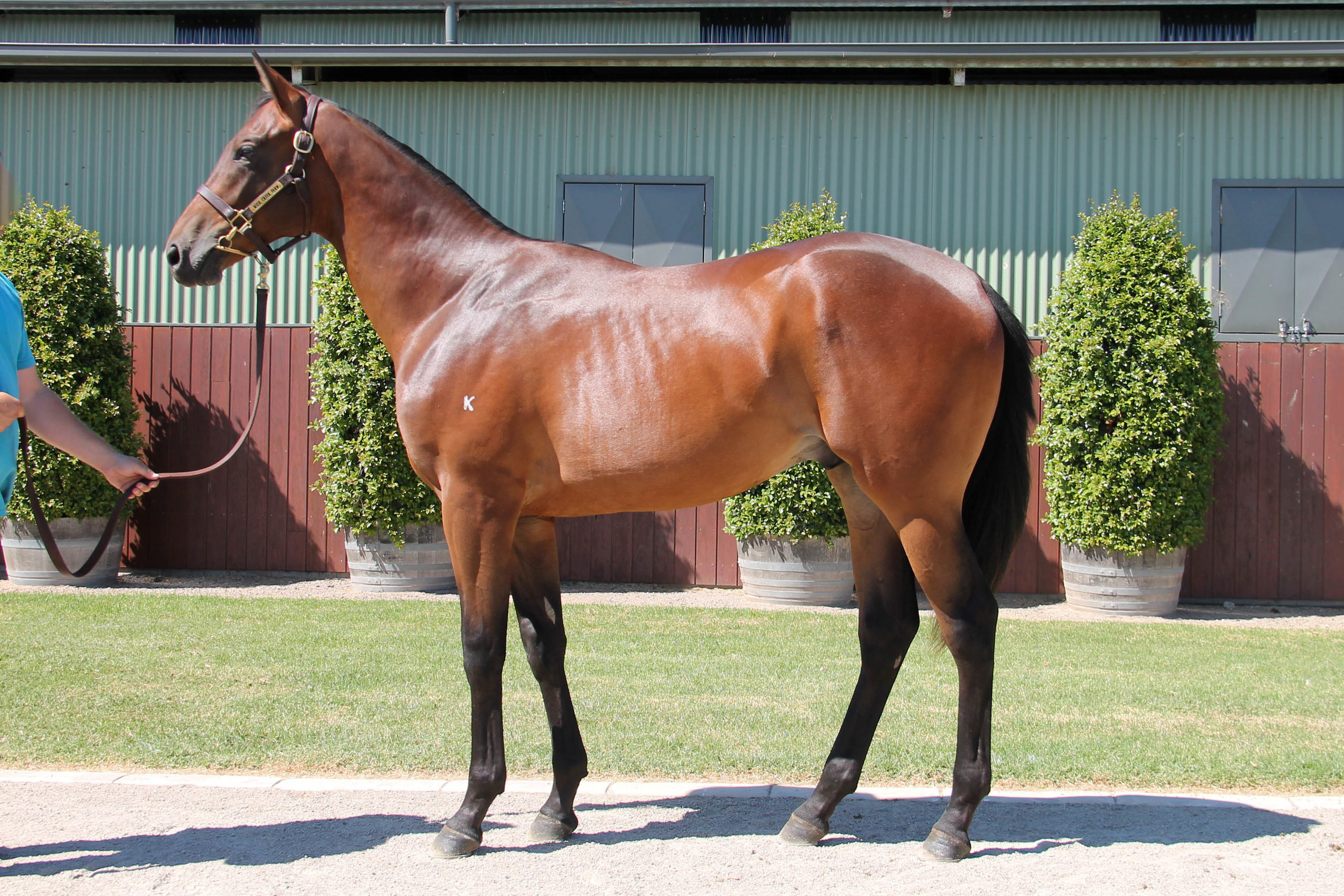 Lot 557 - Real Impact (JPN) x Neriani 17 Colt - Sold to D Wallace/Waterford Bloodstock for $30,000