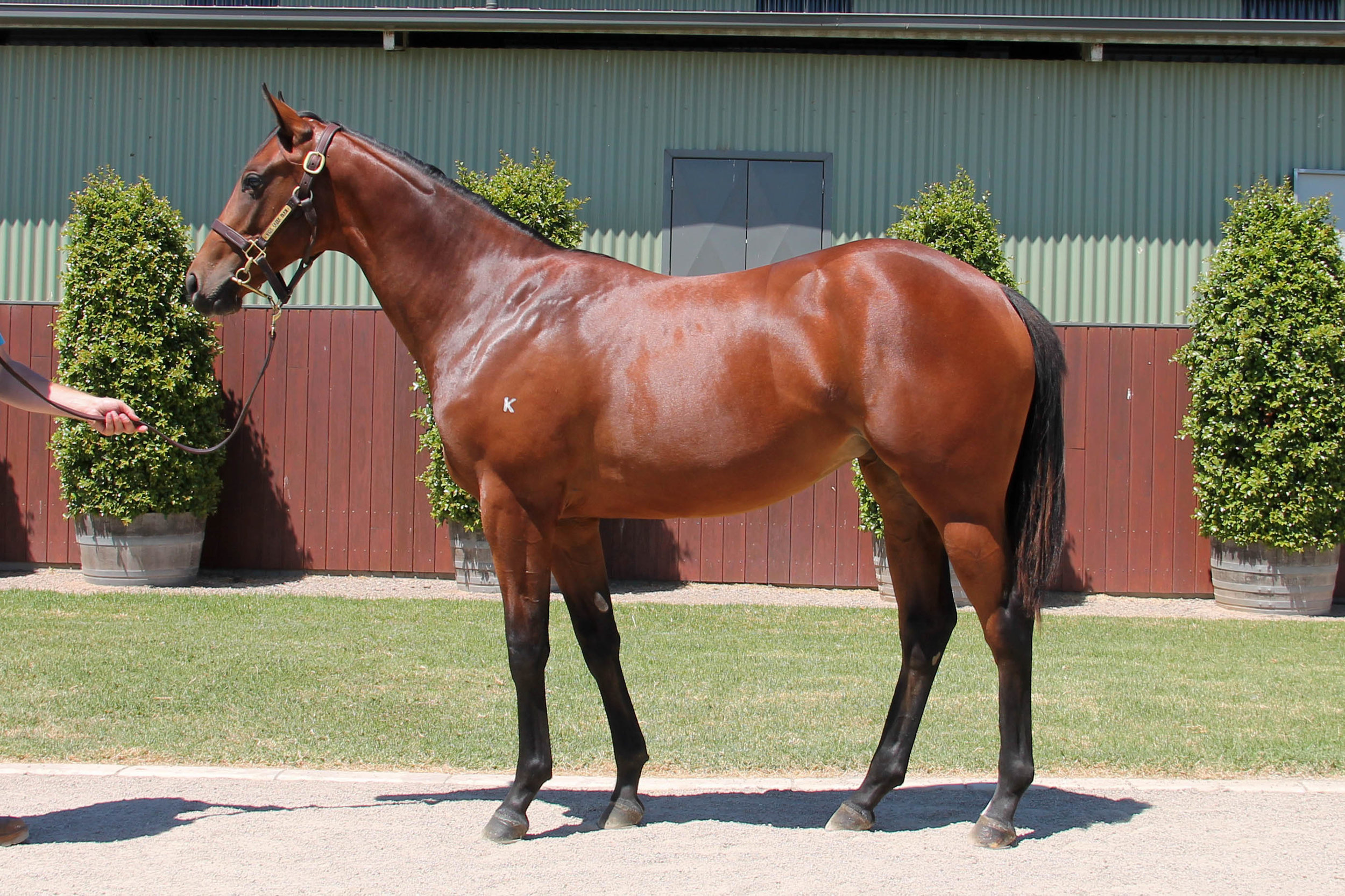 Lot 714 - Press Statement x So Vital (NZ) 17 Filly - Sold to Kehigh Developements for $20,000