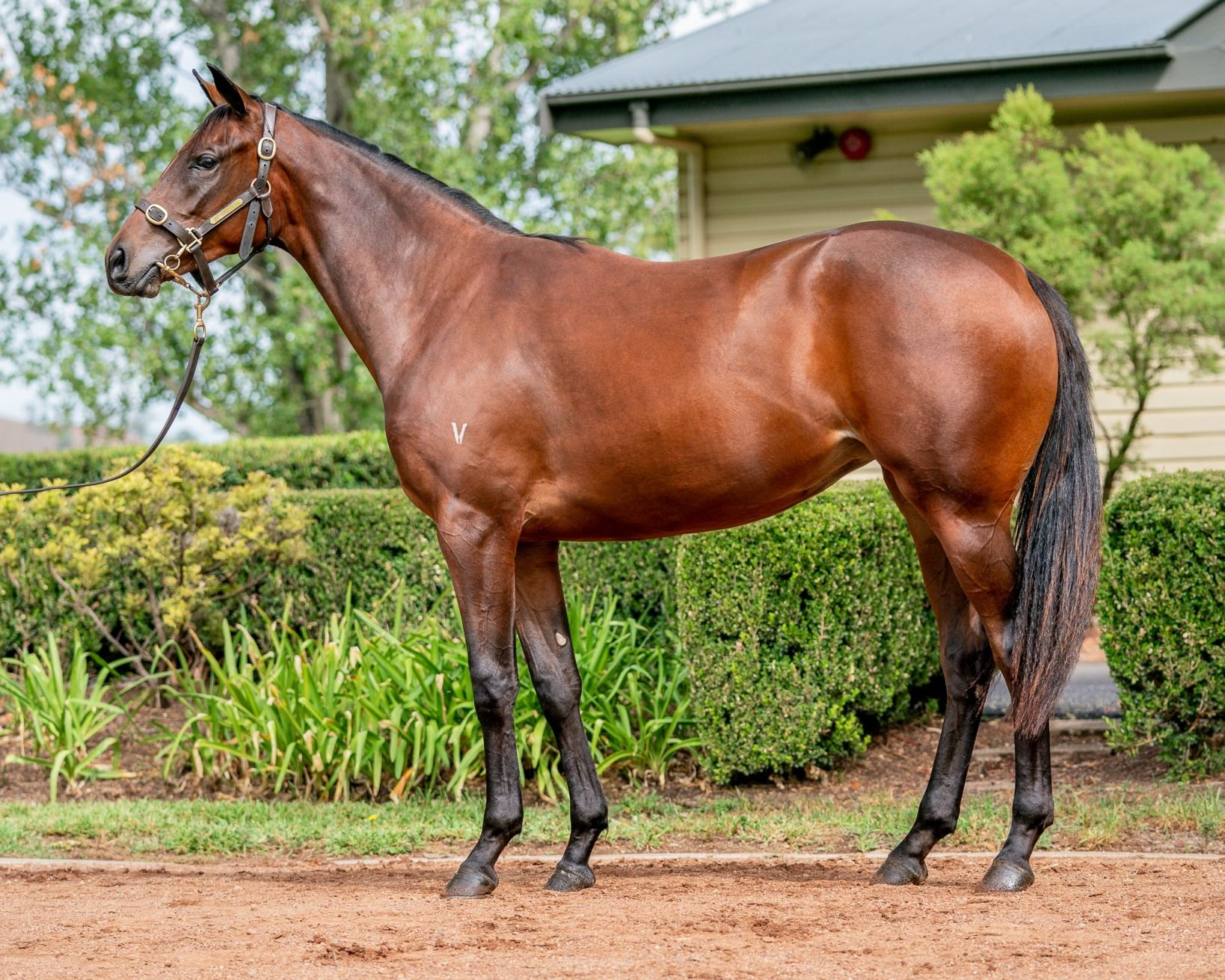 Lot 238 - More Than Ready x Scared Choice filly.jpg