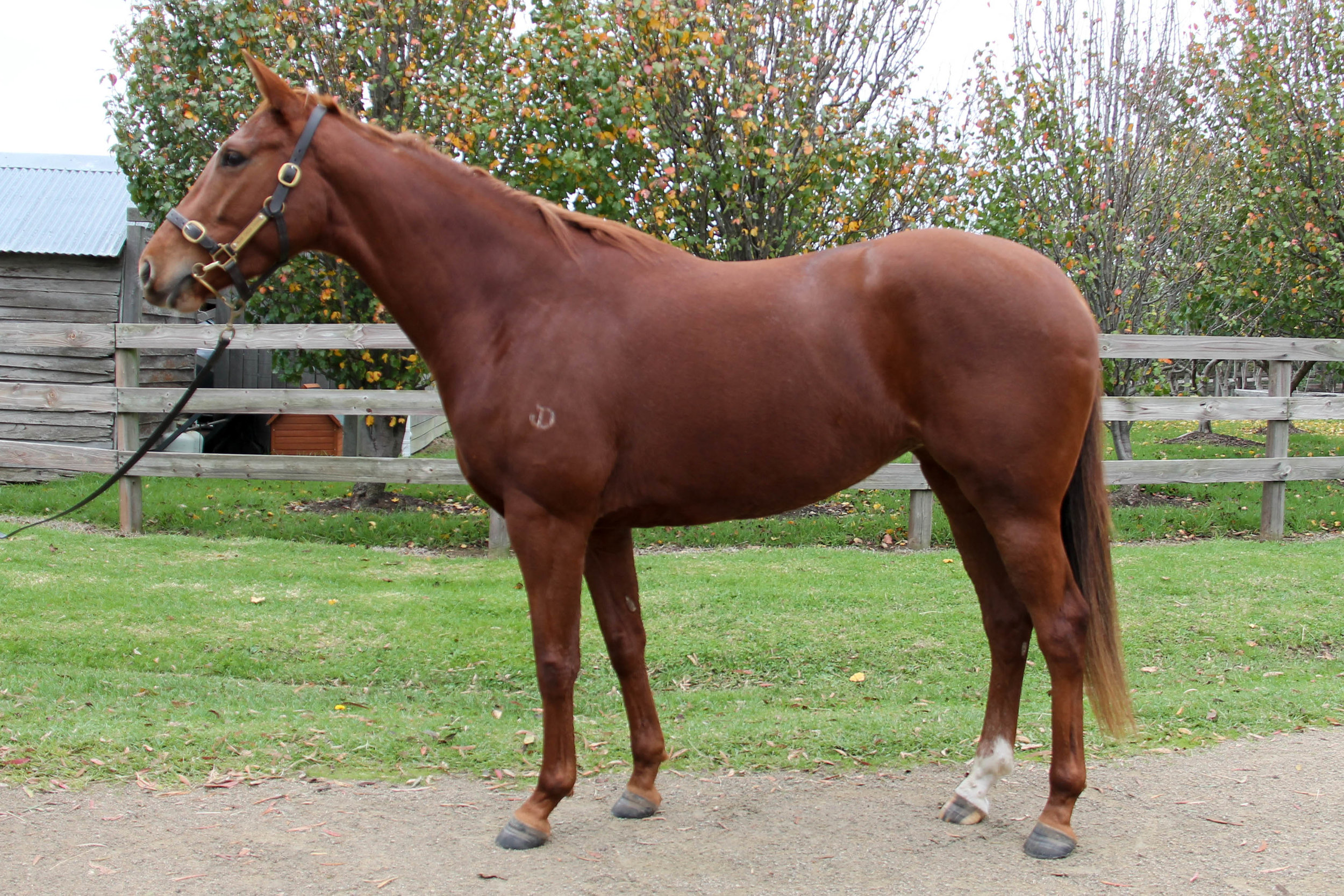 Lot 829 - Elasnik (NZ) - Passed In Reserve $40,000