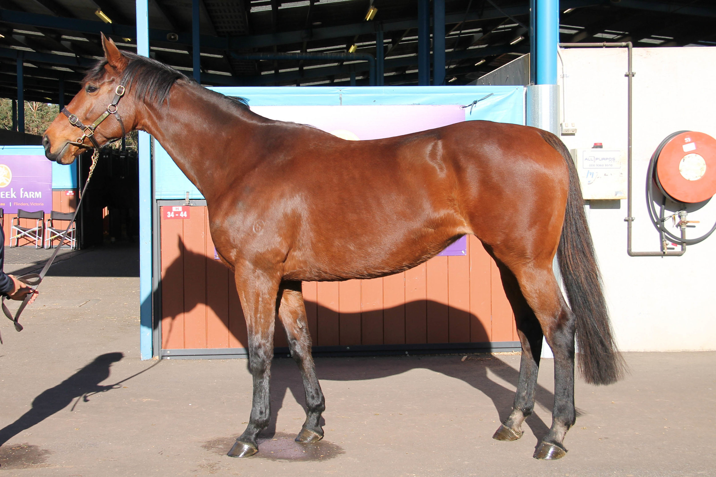 Lot 669 - Lashezz - In Foal to Holler