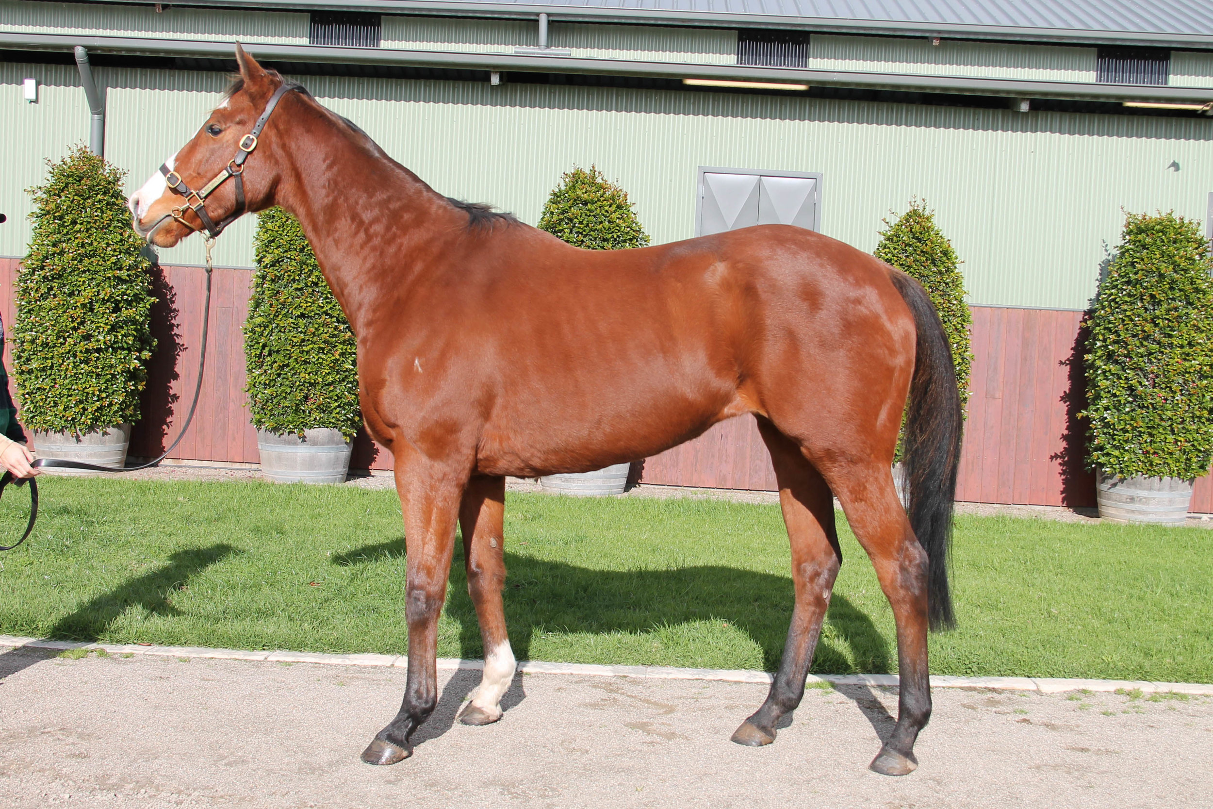 Lot 629 - Hemingway Rules - Not In Foal - Sold for $1,500 to VIC