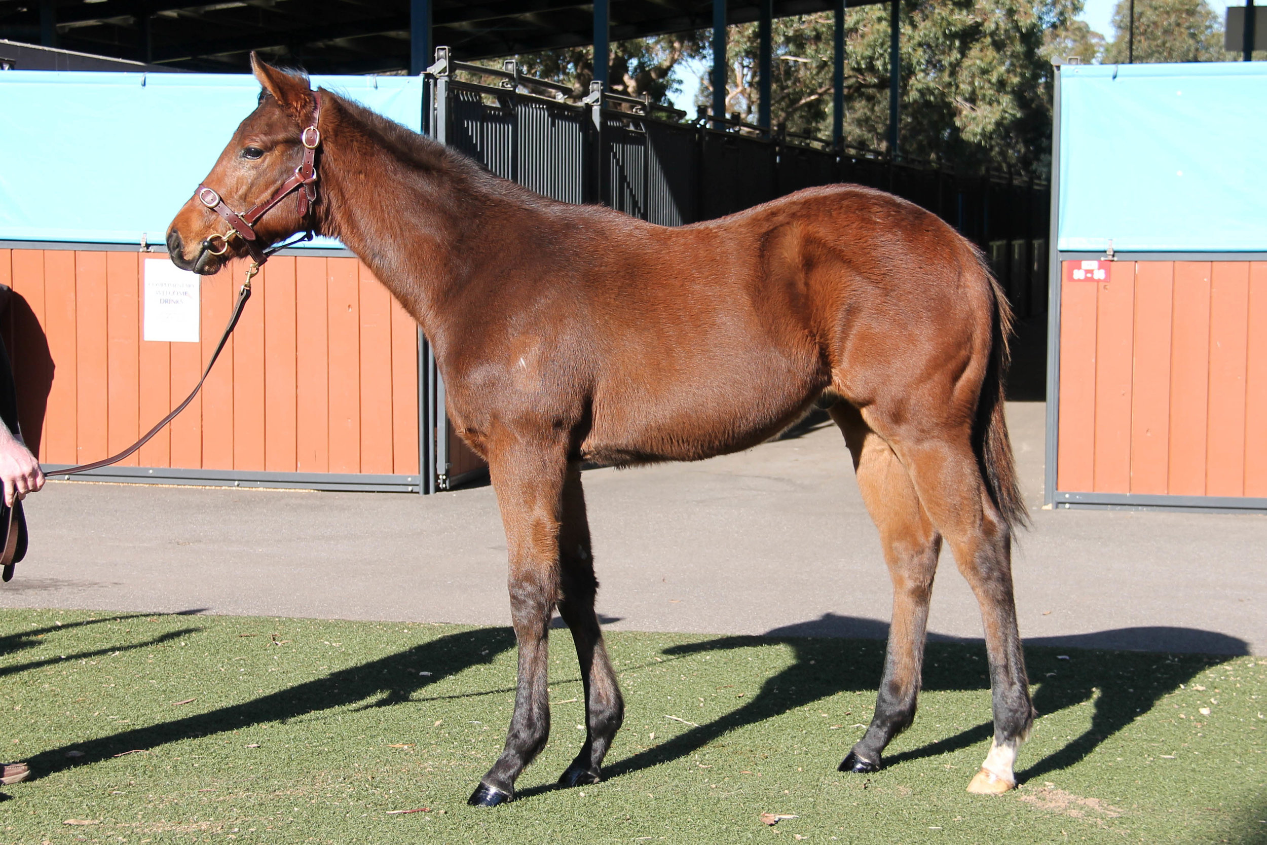 Lot 54 - Magnus x Bopping Blonde 2018 Colt - Sold for $7,500 to Ascot Bloodstock WA