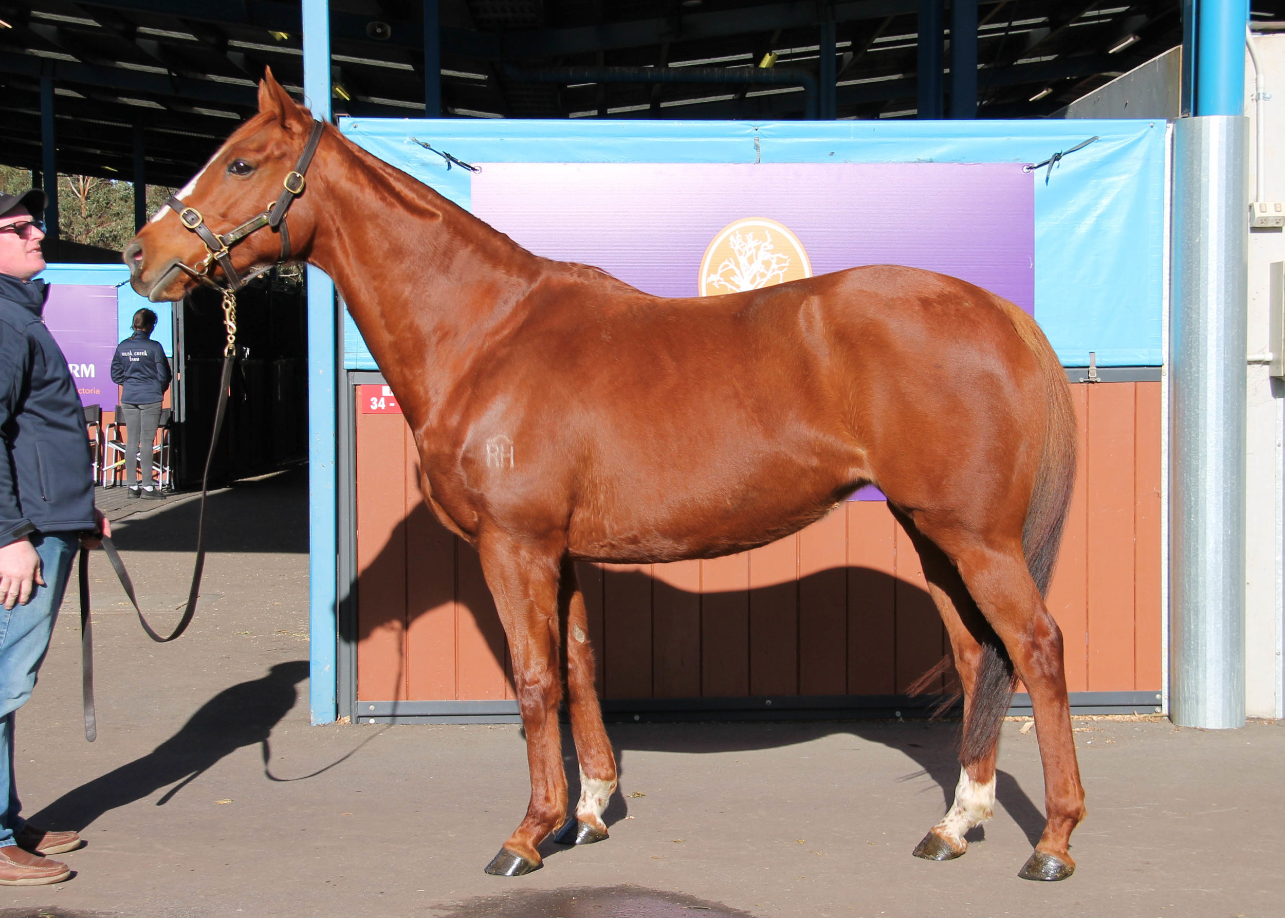 Lot 767 - So Vital (NZ) - In Foal to Toronado (IRE) - Sold for $10,000 to Daisy Hill Stud VIC